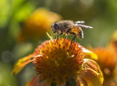 Unijna pomoc dla pszczół