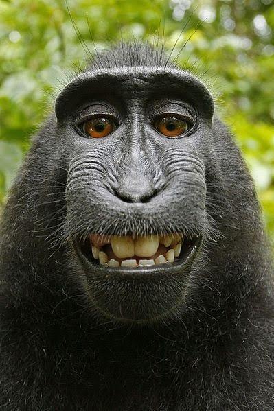 """makak, selfie, zdjęcie, fotograf, Prawa autorskie do """"selfie"""" małpy Naruto"""
