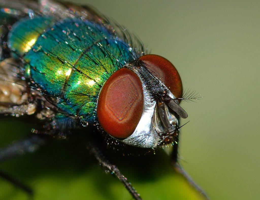 Entomologia sądowa (na zdjęciu: muchówka)
