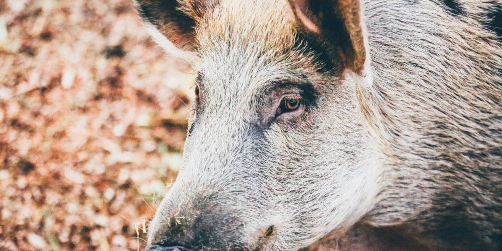 Ułatwienia w sprzedaży mięsa z obszarów ASF