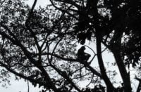 Nosacz Sundajski