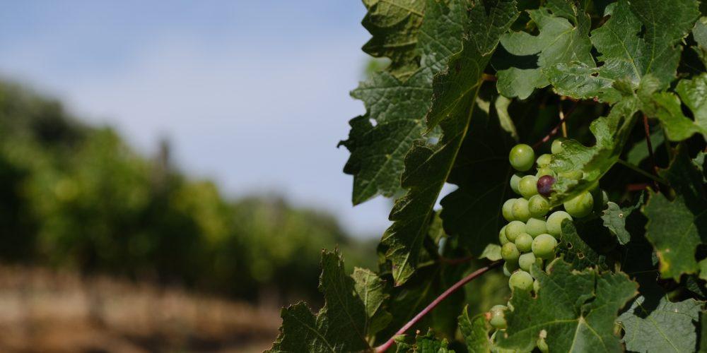Godność zawodu – czy sędzia może zbierać winogrona?