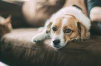 Szczekający pies – jakich problemów może nam przysporzyć?