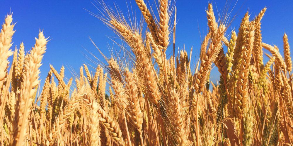 Oznakowanie żywności i pasz jako wolnych od GMO