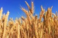 Wolna od GMO